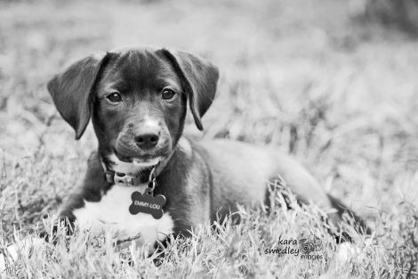 Beagle and Lab mix rescue pup!