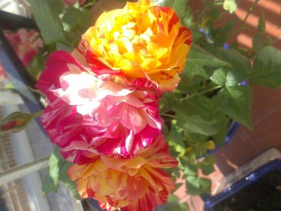 Rosas deL mismo tronco con diferentes colores