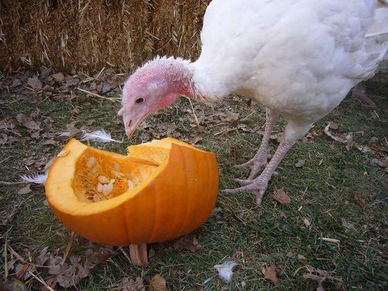 Turkeys love pumpkin