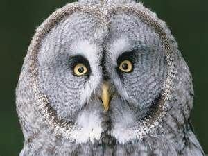 Great Grey Owl - Bing Images