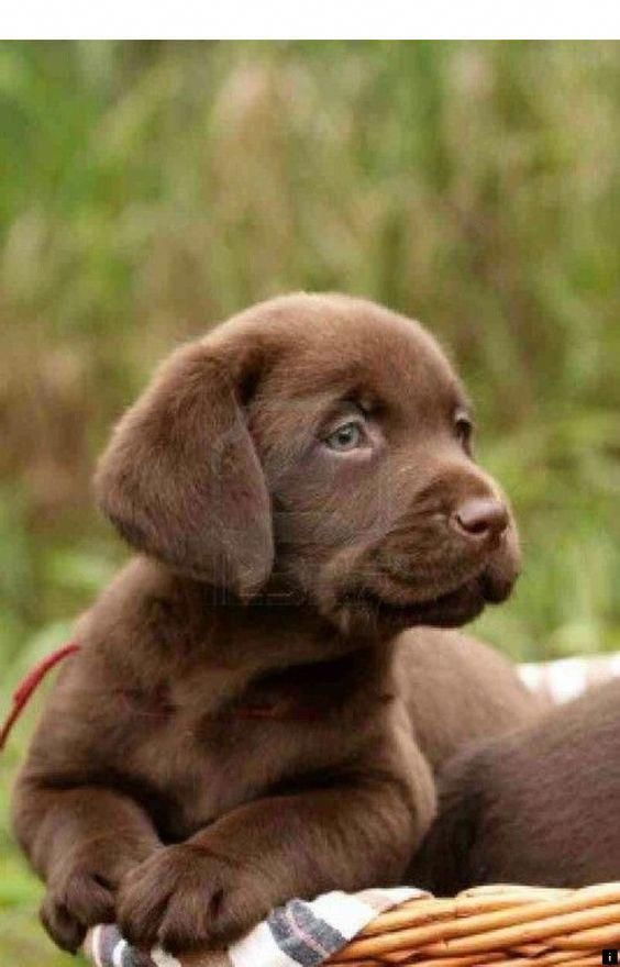 The Traits We All Love About The Enthusiastic Labrador Puppies Labrador Russia Labradors Labradorpup Lab Puppies Cute Animals Labrador Puppy