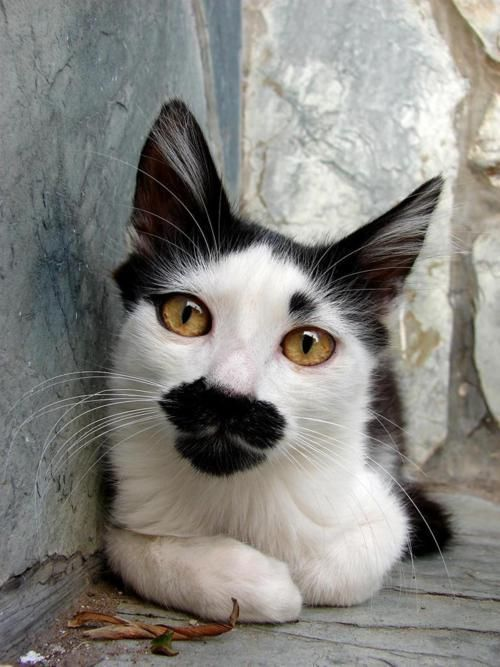 Awesome Cats That Cost a Fortune - Nineteen awe-inspiring cats that cost a fortune. There ar quite 250 cat breeds within the world. balding and hairy , perverse and friendly, tender and freedom-loving. #manxcat -Beautiful cute cats. Cats in art. #beautifulcats