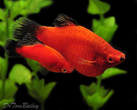 12 Most Popular Types Of Molly Fish Aquarium Fish Tropical Fish Tropical Fish Aquarium