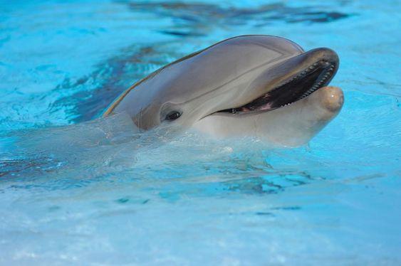 Curiosidades Zoomarine Sabiam Que O Golfinho Roaz Nasce Com Bigodes No Bico Que Caem Passados Uns Dias E Nao Voltam A Cresce With Images Bottlenose Dolphin Dolphins Marine