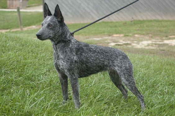 Australian Stumpy Tail Cattle Dog Hunderassen Australian Cattle Dog