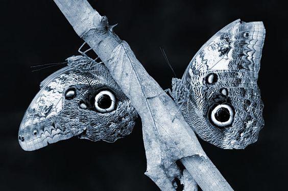 Owl-butterflies