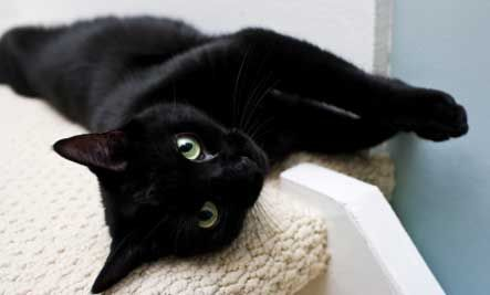 black-cat-lyingdown.jpg (443×267)