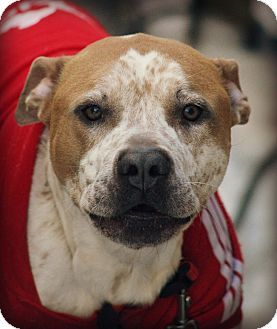 Schaumburg, IL - Pit Bull Terrier Mix. Meet Sypher-couresty post only, a dog for adoption. http://www.adoptapet.com/pet/15490382-schaumburg-illinois-pit-bull-terrier-mix                                                                                                                                                      More