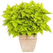 ColorBlaze® Lime Time™ Coleus is a strong vertical accent in the landscape or in a container, and its leaves will not fade--even in full sun!  http://emfl.us/76Jd
