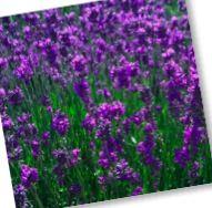 lavendelbloemen