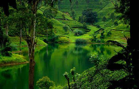 Beautiful capture of Nuwara Eliya tea plantation.