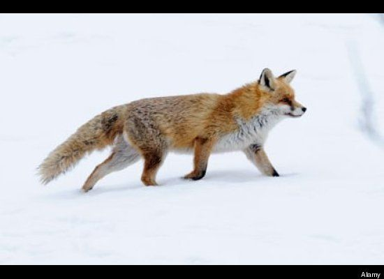 Sly fox! Love this witty animal!!!