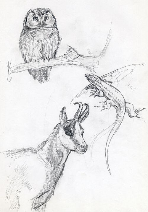 Boceto especies pirenaicas2