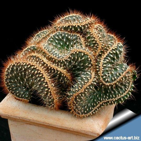 Cylindropuntia sp. forma cristata (Opuntia fulgida forma cristata):