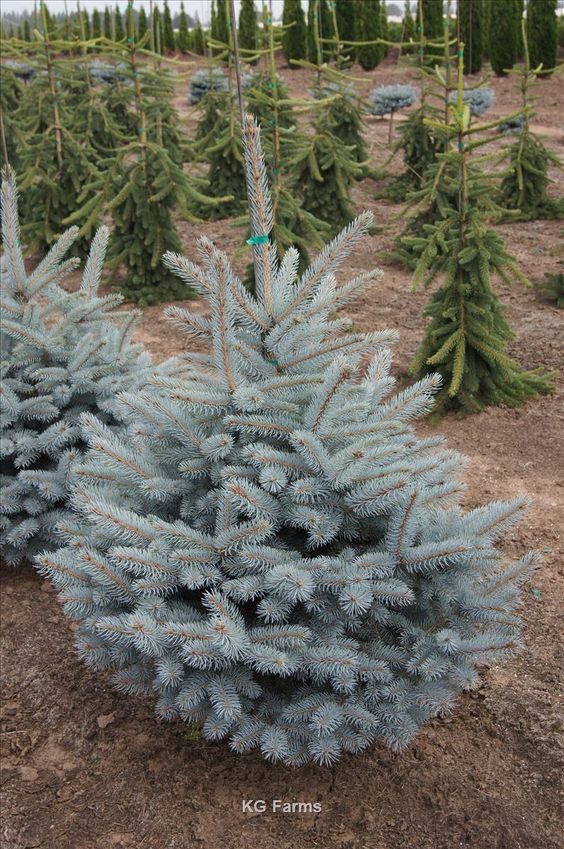 picea pungens var glauca 39 baby blue eyes 39 wholesale. Black Bedroom Furniture Sets. Home Design Ideas