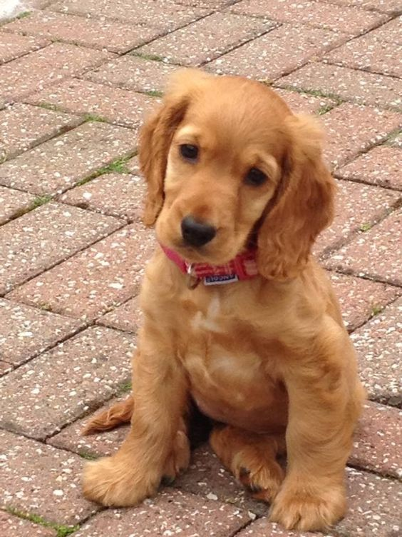 """Click visit site and Check out Best """"English Cocker Spaniel"""" T-shirts. This website is top-notch. Tip: You can search """"your name"""" or """"your favorite shirts"""" at search bar on the top."""