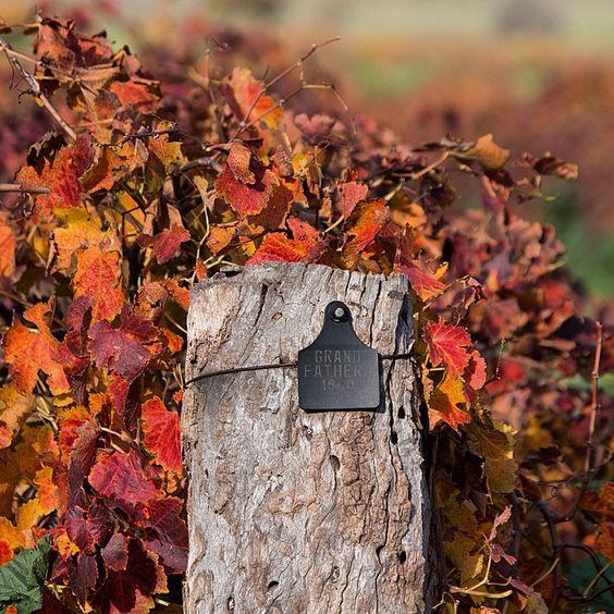 Autumn No. 155 for the Henschke Hill of Grace vineyard... #Barossa #Barossadirt #wine #vineyard #winery #henschke #BarossaOldVines  #autumn #edenvalley
