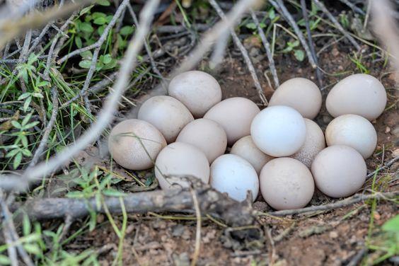Ovos de galinha-d'angola