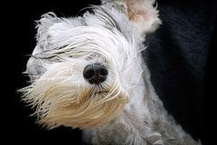 Schnauzer enjoying the breeze