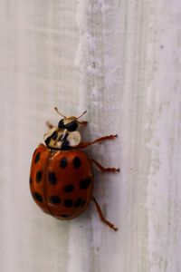 How To Get Rid Of Asian Ladybugs 21