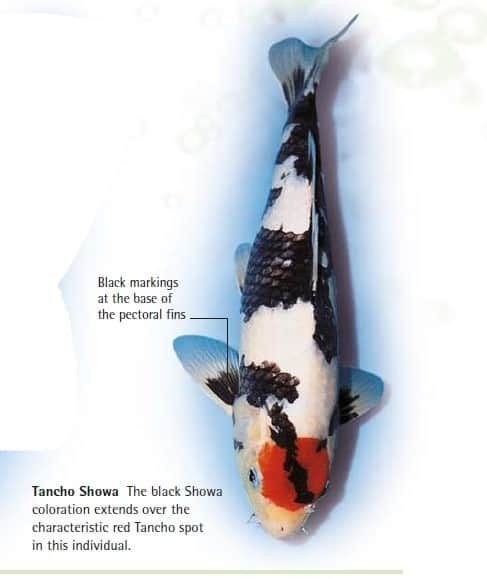 Tancho Koi Fry Koi Fish Forsale Here In The Philippines Koi Fish For Sale Koi Fish Koi
