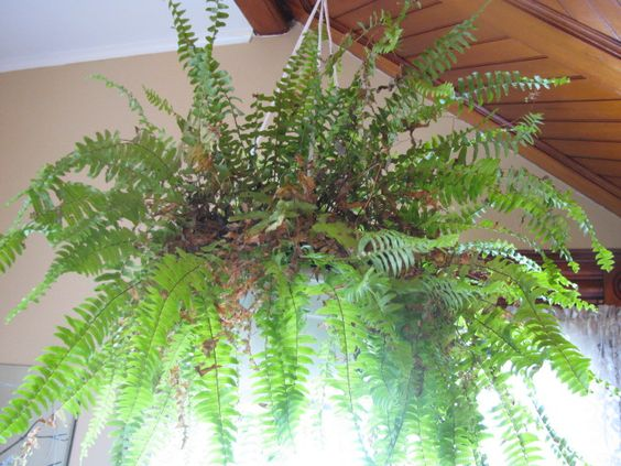 Boston fern overwintered wintering my ferns pinterest overwintering boston and gardens - Overwintering geraniums tips ...