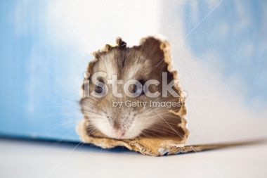 Hamster Finding The Exit Royalty Free Stock Photo