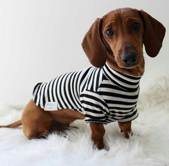 Dachshund Dog Fashion Dachshund Fashion Pet Fashion Sausage Dog Fashion Weiner Dog Fashion Wiener Dog Fashion Miniatur Dachshund Puppies Weiner Dog Dog Clothes