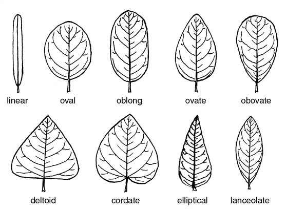 Printables Different Shapes And Names different names for shapes as a method of categorization and identity black white drawing illustrating leaf broad le