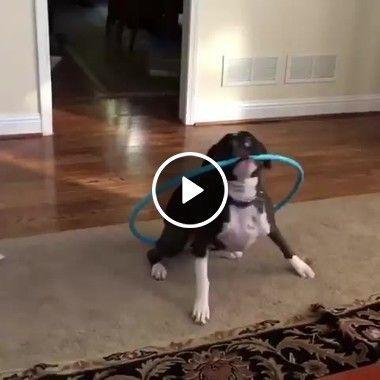 Cachorro dançando com bambolê