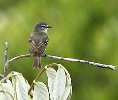 Poiaeiro-de-sobrancelha ( Ornithion inerme)