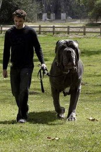 Hercules is an English Mastiff who has a 38 inch neck and weighs 282 pounds.