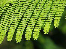 May flower tree [Delonix regia] leaves- Wikipedia, the free encyclopedia