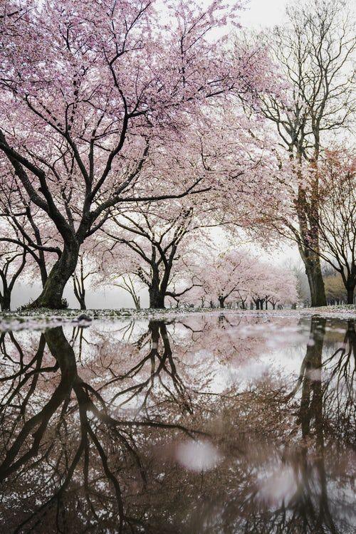 Cherry Blossom Trees Near River Blossom Trees Sakura Tree Japanese Cherry Blossom