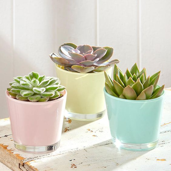 Trio of succulents in pastel glass pots: