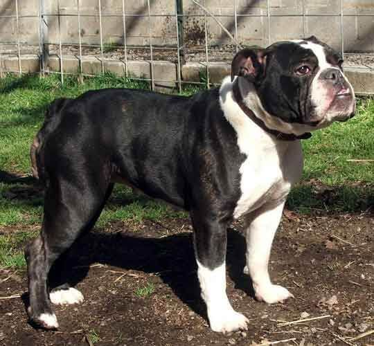 Victorian Bulldog Information Appearance Characteristics And