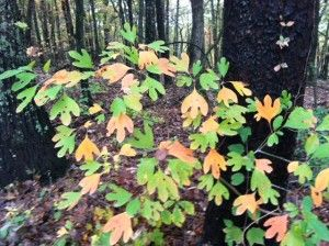 These changing sassafras leaves remind me of one of  Matisse's playful cutouts.
