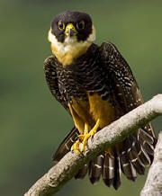 Bat Falcon | American Kestrel Bat Falcon Crested Caracara