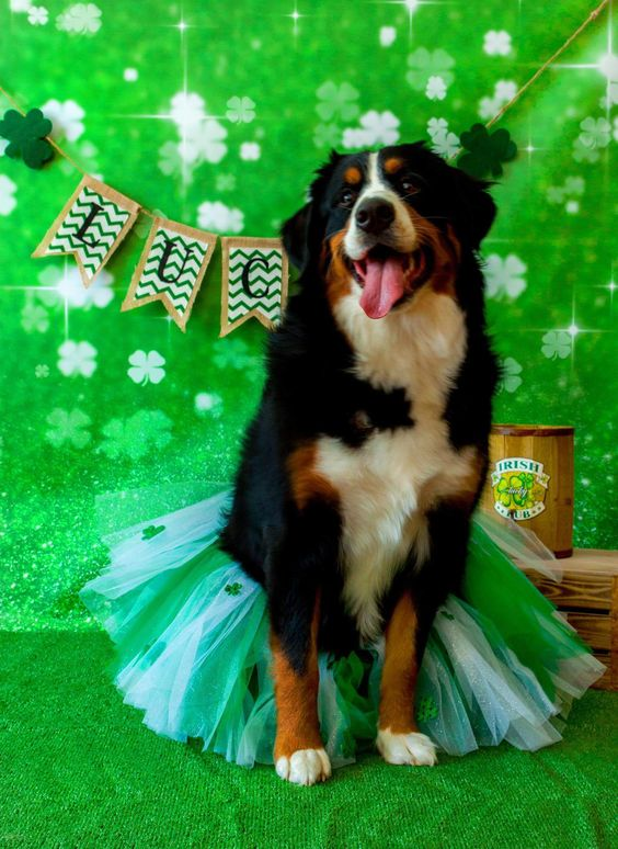 Bernese Mountain Dog on St. Patrick's Day!