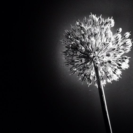 Black and White Flower: