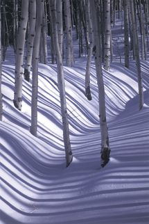 stunning photo to use for our birch tree paintings