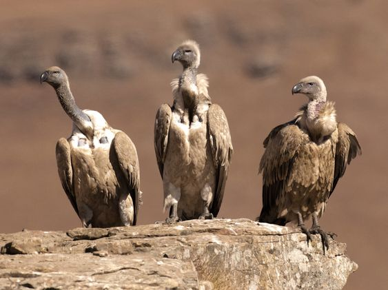 three vultures in Africa