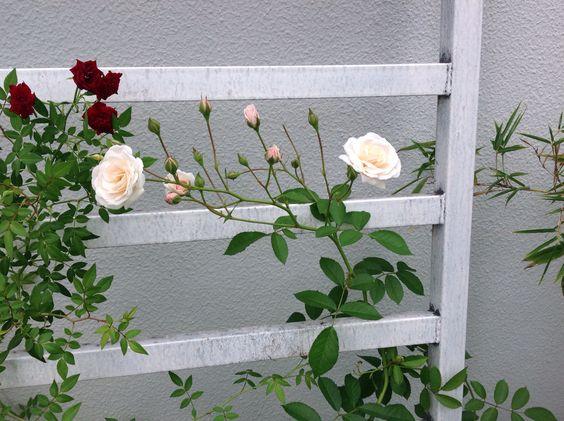 Rosa trepadeira