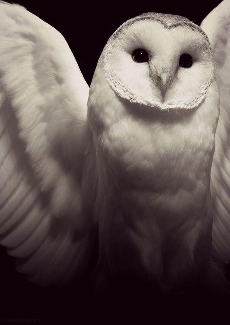 ⊙_⊙corujas - White Owl