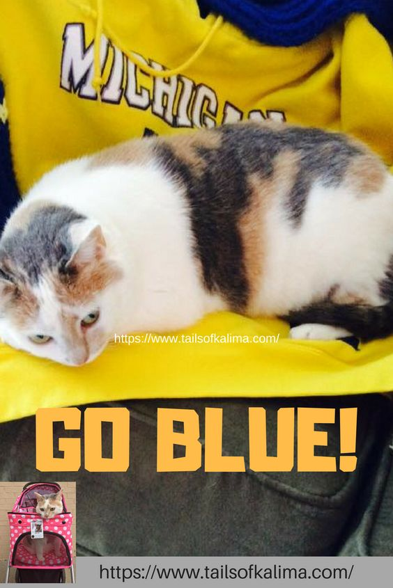 Kali Ma Supporting Her Favorite Football Team The Michigan Wolverines Go Blue Tails Of Kali Ma Is For Cat Lover Therapy Cat Cat Quotes Funny Calico Cat Facts