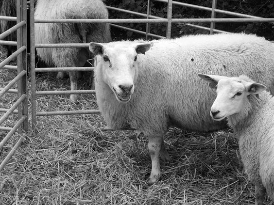 Another photo of a sheep,or sheeps.
