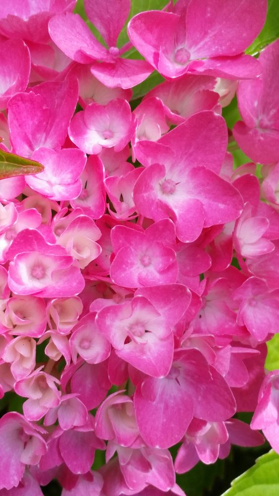~ Hydrangea ~ #flowers #photography