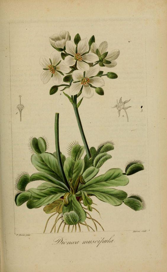 Gravures de fleurs gravure fleur de jardin 40279 dionee for Botanic fleurs artificielles