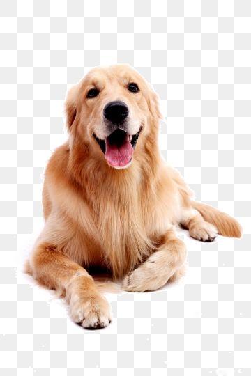 Dog Pet Golden Retriever Red Dogs Png And Clipart Golden Retriever Dogs Golden Retriever Golden Retriever Red