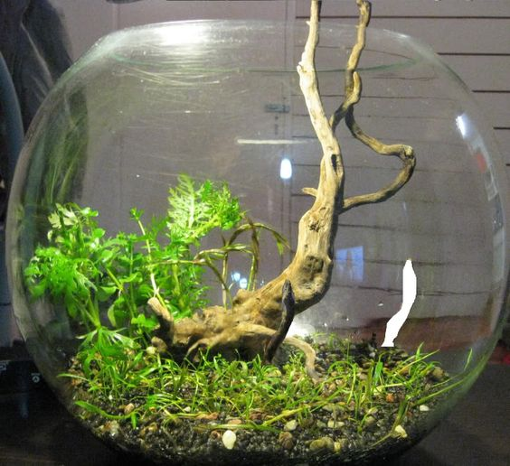 Love this bowls and love on pinterest for Betta fish bowl ideas